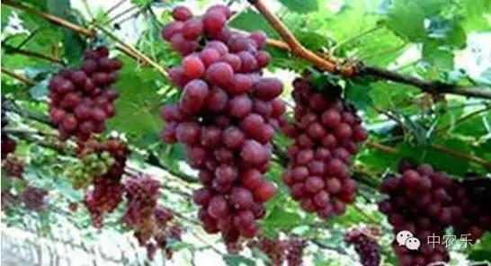 如今的杉树林村,连绵的葡萄架上即将成熟的果实煞是打眼,漫山遍野绿油